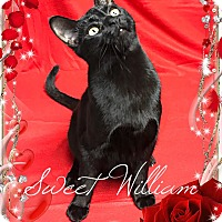 Adopt A Pet :: Sweet William - Davison, MI