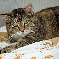 American Shorthair Cat for adoption in Palo Cedro, California - Minerva