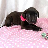 Adopt A Pet :: Abby - Newark, DE