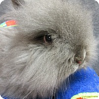 Jersey Wooly Mix for adoption in Newport, Delaware - Coby