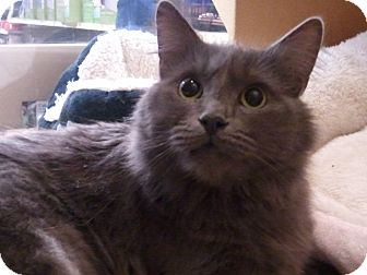 Domestic Mediumhair Cat for adoption in Diamond Bar, California - KAYA