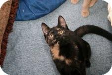 Domestic Shorthair Kitten for adoption in East Brunswick, New Jersey - Katherine