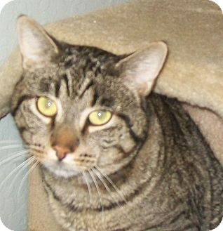 Domestic Shorthair Cat for adoption in Grants Pass, Oregon - Nick