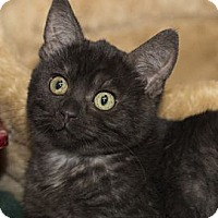 Adopt A Pet :: Lena Horne - Lombard, IL