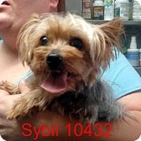 Adopt A Pet :: Sybil - Greencastle, NC
