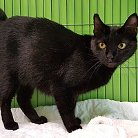 Domestic Shorthair Cat for adoption in Barnwell, South Carolina - Callie