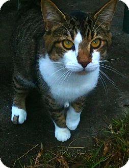 Domestic Shorthair Cat for adoption in Ocala, Florida - Fritz