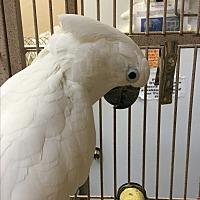 Cockatoo for adoption in Punta Gorda, Florida - Buddy