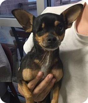 Chihuahua Mix Dog for adoption in San Antonio, Texas - CHICO