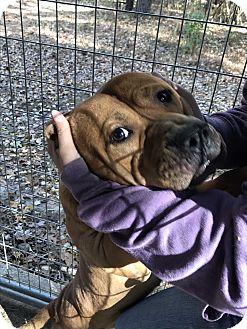 Pit Bull Terrier Mix Dog for adoption in Henderson, North Carolina - Ski Bo (HW Neg)**