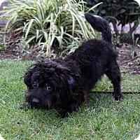Adopt A Pet :: HARLEY - Newport Beach, CA