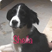 Shepherd (Unknown Type)/Husky Mix Puppy for adoption in El Paso, Texas - Sheila