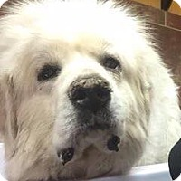 Great Pyrenees Dog for adoption in Olive Branch, Mississippi - Lincoln