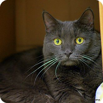 Domestic Shorthair Cat for adoption in East Hartford, Connecticut - Pearl