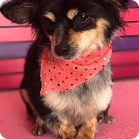 Adopt A Pet :: FRANCESCA - Irvine, CA