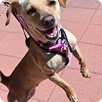 Adopt A Pet :: Harley Quinn (female) - Los Angeles, CA
