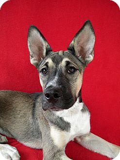 Shepherd (Unknown Type)/Boxer Mix Puppy for adoption in Monteregie, Quebec - Teaka
