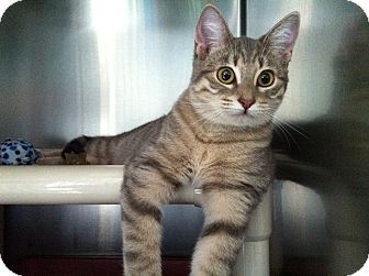 Domestic Shorthair Cat for adoption in Topeka, Kansas - Muppet