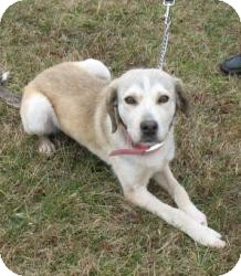 Husky/Shepherd (Unknown Type) Mix Dog for adoption in Richmond, Virginia - Daisy