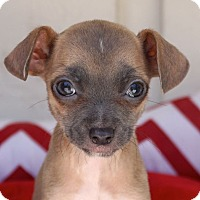 Adopt A Pet :: Teeny Tiny Junebug - La Habra Heights, CA