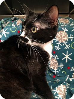 Domestic Shorthair Cat for adoption in Las Vegas, Nevada - Mrs. Stache
