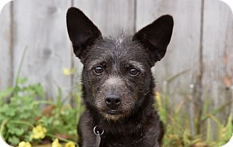 Cairn Terrier/Terrier (Unknown Type, Small) Mix Dog for adoption in Los Angeles, California - Fiona