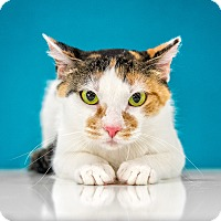 Adopt A Pet :: LIsa - Chandler, AZ