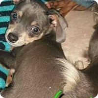 Adopt A Pet :: Gucci - Whitestone, NY