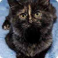 Adopt A Pet :: Ivy - Mt. Prospect, IL