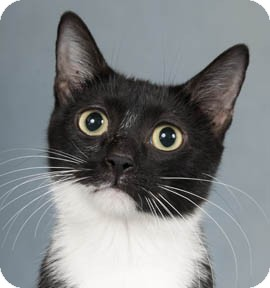 Domestic Shorthair Cat for adoption in Chicago, Illinois - Penelope