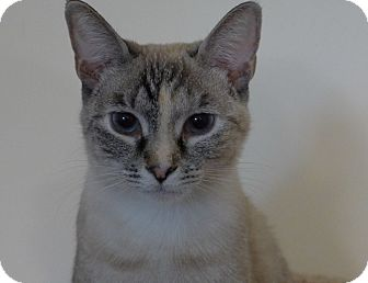 Siamese Cat for adoption in Lighthouse Point, Florida - Halle