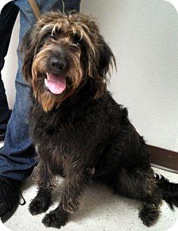 Golden Retriever/Poodle (Standard) Mix Dog for adoption in Seattle, Washington - Zoe