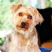 Adopt A Pet :: SADIE-Ready! - Commerce TWP, MI