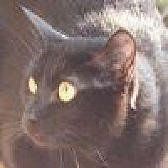 Domestic Shorthair Cat for adoption in Lago Vista, Texas - Camille