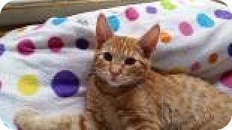 Domestic Shorthair Cat for adoption in Mountain Center, California - Elgin