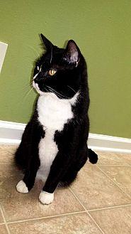 Domestic Shorthair Cat for adoption in Toledo, Ohio - Books