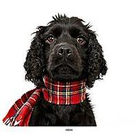 Adopt A Pet :: Ryan - New York, NY