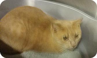 Domestic Shorthair Cat for adoption in Columbus, Ohio - Maggie