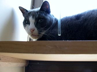 Domestic Shorthair Cat for adoption in Quincy, Massachusetts - Kyle