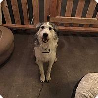 Adopt A Pet :: Cowboy - Los Angeles, CA