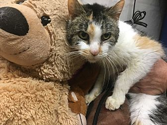 Domestic Shorthair Cat for adoption in Saylorsburg, Pennsylvania - Darcy
