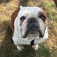 English Bulldog Dog for adoption in Santa Ana, California - Captain Jack