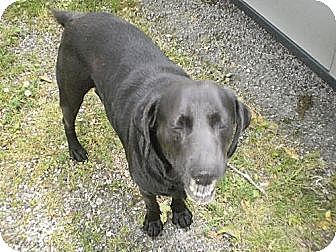 Labrador Retriever Dog for adoption in Manchester, Tennessee - King