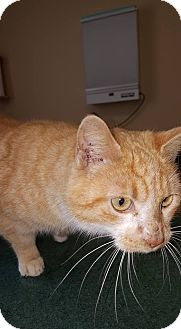 Domestic Shorthair Cat for adoption in Albemarle, North Carolina - Jane Pierce