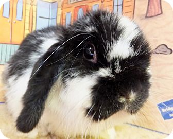 American Fuzzy Lop Mix for adoption in Foster, Rhode Island - Anna Banana