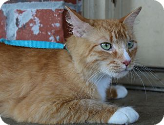 Domestic Shorthair Cat for adoption in Ocean Springs, Mississippi - Skylar