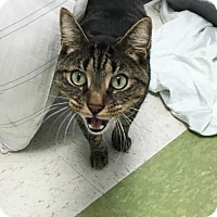 Domestic Shorthair Cat for adoption in Manteo, North Carolina - Axle