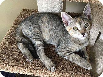 Domestic Shorthair Kitten for adoption in Bensalem, Pennsylvania - Lollipop