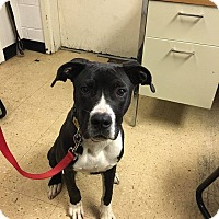Labrador Retriever/American Staffordshire Terrier Mix Dog for adoption in Hopewell, Virginia - Tree