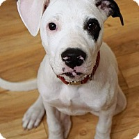 Adopt A Pet :: Kinley - Seattle, WA